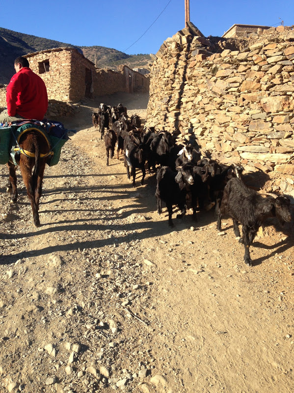 Goats, Atlas Mountains, Morocco