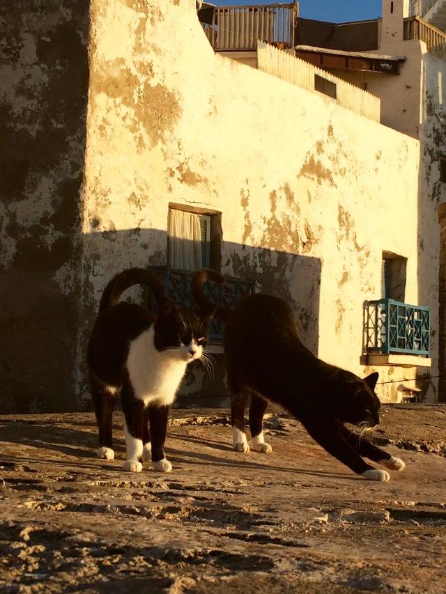 Cats, Golden light, Essaouira